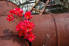 Free Red Daisies Rusted Oil Drums Stock Photos - 3050123