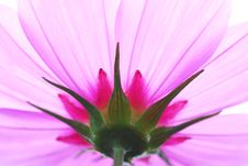 Free Pink Fower Royalty Free Stock Photo - 3051845