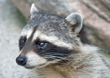 Free Racoon 9 Royalty Free Stock Photography - 3053567