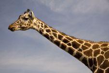 Free Giraffe Stock Photo - 3053930