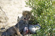 Free Lone Cheetah With Kill Royalty Free Stock Photos - 3054208