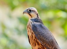 Free Falcon (young Female) Royalty Free Stock Photo - 3054235