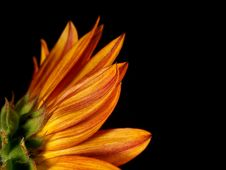 Free Back Side Of A Sunflower Stock Image - 3054731