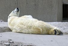 Free Polar Bear Stock Photography - 3055822