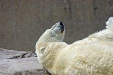 Free Polar Bear Stock Images - 3055834