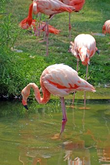 Free Pink Flamingos Royalty Free Stock Photography - 3055877