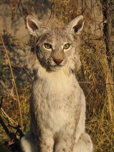 Free Lynx Stock Photos - 3056023