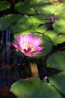 Free A Waterlily S Glow Royalty Free Stock Photo - 3057205