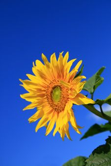 Free Sunflower Royalty Free Stock Images - 3058239