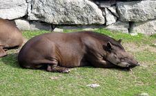 Free Sleeping Tapir Stock Photography - 3058262