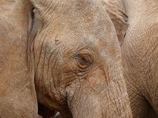 Free Close Up Elephant Royalty Free Stock Image - 3058776