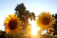 Free Sunflower Royalty Free Stock Photo - 3059775