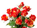 Free Roses On White Royalty Free Stock Images - 30505419