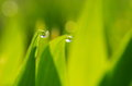 Free Droplet Of Dew Stock Photos - 30509873