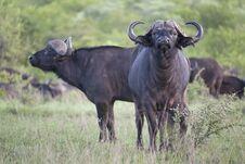 African Buffalo Pair Stock Photo