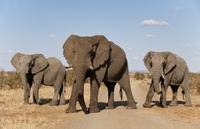 Free Three Elephants In A Row. Royalty Free Stock Photos - 30500588