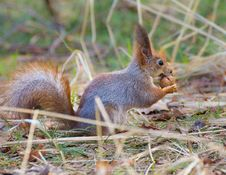Free Red Squirrel Holding Walnut Stock Photos - 30501173