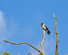 Free Hooded Crow On Withered Pine Royalty Free Stock Photos - 30505448