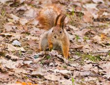 Free Red Squirrel In Early Spring Park Stock Photos - 30506263