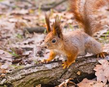 Free Curious Red Squirrel On Log In Park Royalty Free Stock Images - 30509449