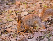Free Red Squirrel Searching For Walnut Royalty Free Stock Photo - 30509565