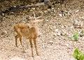 Free Deer Royalty Free Stock Images - 30515259
