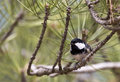Free Coal Tit On A Tree &x28;Parus Ater&x29; Royalty Free Stock Images - 30519549