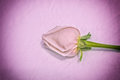 Free Rose Royalty Free Stock Photo - 30519785
