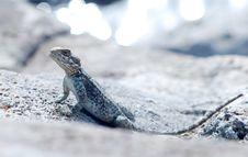 Free Lizard Royalty Free Stock Photography - 30510937