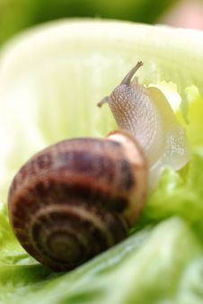 Free Close Up To Snail On Green Background Stock Images - 30511044