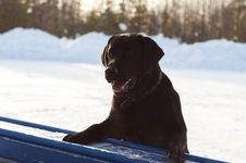 Free The Black Labrador In The Wood Stock Image - 30515691