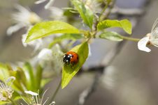 Lady Beetle Stock Photos