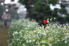 Free Red Poppy Flower Stock Photography - 30516832
