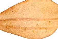 Free Water Droplets On A Leaf Royalty Free Stock Photo - 30517465