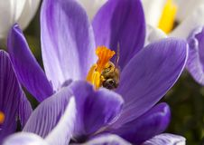 Free Bee On A Crocus Royalty Free Stock Image - 30517786