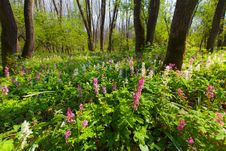 Wild Flowers In A Mountain Forest In Spring Stock Image