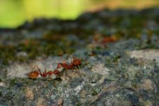 Free Weaver Ants Stock Image - 30519101