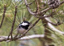 Free Coal Tit On A Tree &x28;Parus Ater&x29; Royalty Free Stock Photo - 30519545