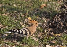 Hoopoe On Grass &x28;Upapa Epops&x29; Stock Photo