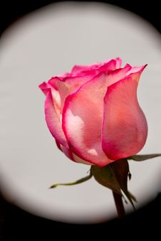Free Rose Stock Images - 30519774