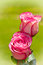 Free Pair Of Roses Royalty Free Stock Photo - 30519415