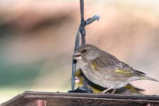 Free Green Finch On Feeder Royalty Free Stock Photography - 30520967