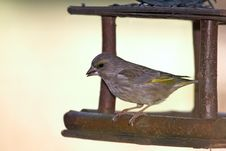 Free Green-finch In Feeder Stock Photo - 30520990