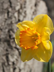 The Narcissus In The Garden Stock Image