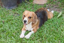 Free Beagle Royalty Free Stock Photos - 30528908