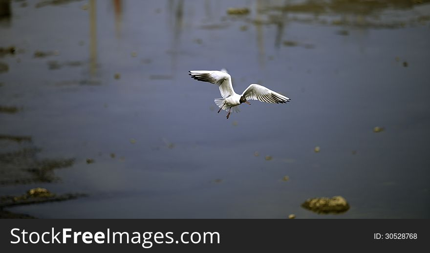 Seagull skimming