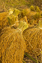Free Yellow Rice In Farm Royalty Free Stock Photos - 30534608