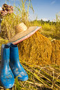 Free Yellow Rice In Farm Stock Images - 30534814