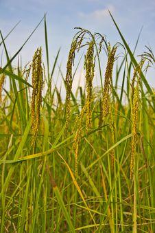 Green Rice Fields Stock Photo