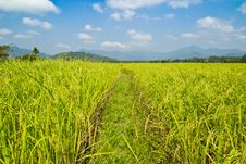 Free Rice Field With Blue Sky Stock Images - 30534284